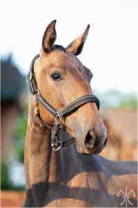 Photo cheval a vendre PARAMOUR DE LA GESSE